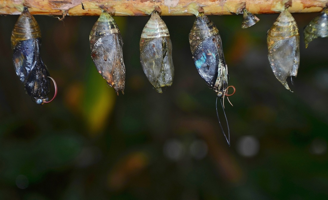 _absolutely_free_photos_original_photos_cocoons-hanging-on-tree-4702x2876_36445